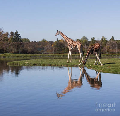 Photograph - Giraffes Drinking Water by Barbara McMahon
