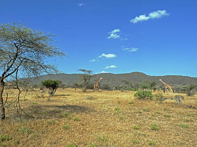 Photograph - Giraffes In Samburu National Reserve by Tony Murtagh