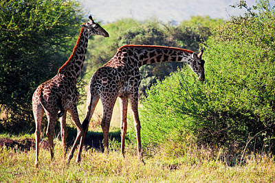 Photograph - Giraffes On Savanna Eating. Safari In Serengeti by Michal Bednarek