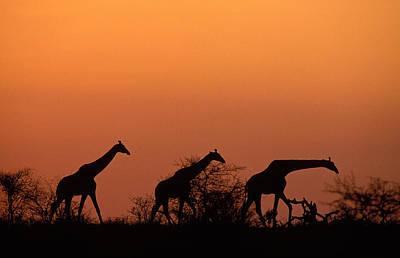 Photograph - Giraffes Ot Sunset by Nigel Dennis