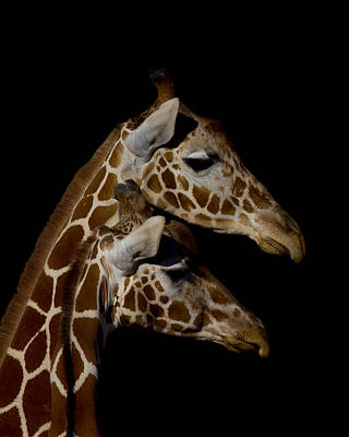 Photograph - Giraffes Portrait by Ernie Echols