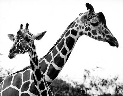 1990 Photograph - Giraffes by Retro Images Archive