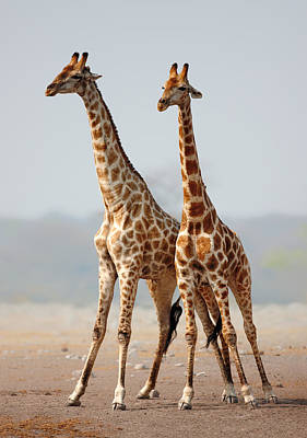 Giraffe Wall Art - Photograph - Giraffes Standing Together by Johan Swanepoel