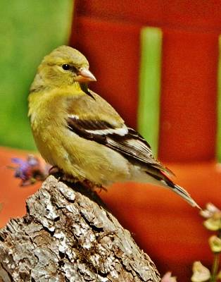 Photograph - Girlie Goldfinch by VLee Watson