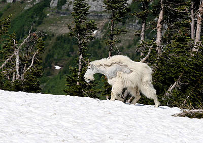 Mountain Goat Photograph - Glacier Goat by Aaron Aldrich