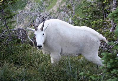 Photograph - Glacier Goat by Carolyn Ardolino