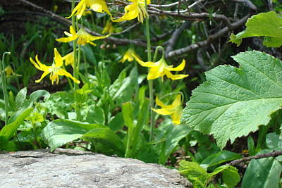 Photograph - Glacier Lilies by Susan Woodward