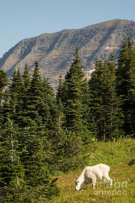 Mountain Goat Photograph - Glacier National Park Mountain Goat by Natural Focal Point Photography