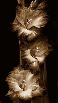 Gladiola Flowers Evening Light In Sepia Art Print