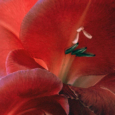 Photograph - Gladiola IIi by Michael Moschogianis