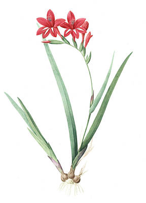Cardinal Drawing - Gladiolus Cardinalis, Glaieul Cardinal Waterfall Gladiolus by Artokoloro