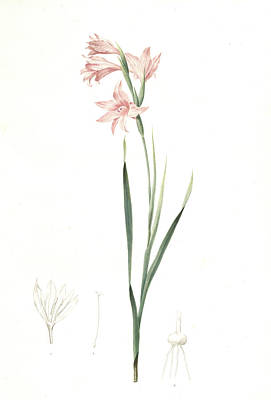 Gladiolus Drawing - Gladiolus Carneus, Fladieul Couleur De Chair, Flesh-colored by Artokoloro