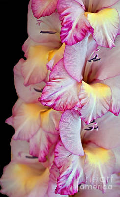 Photograph - Gladiolus Flower Pink And White by Valerie Garner