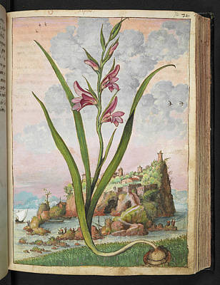 Gladiolus Photograph - Gladiolus Italicus by British Library