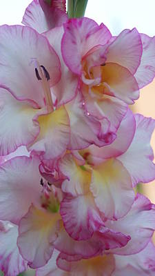 Gladiolus Pink And Yellows...   # Art Print