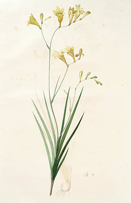 Gladiolus Drawing - Gladiolus Refractus, Freesia Refracta Glaïeul à Tiges by Artokoloro