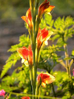 Photograph - Gladiolus Sun by Nada Meeks