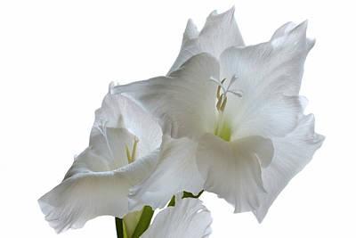 Gladiolus White. Original by Terence Davis