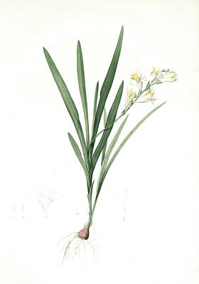 Gladiolus Drawing - Gladiolus Xanthospilus, Freesia Refracta Glaïeul à Taches by Artokoloro