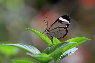 Photograph - Glasswing Butterfly by Juergen Roth