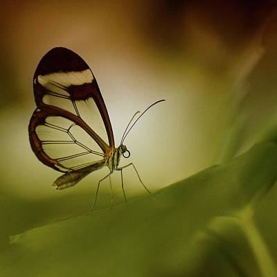 Insect Photograph - Glasswing Butterfly by Lisa Karloo Photography