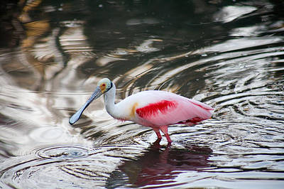 Glassy Spoonbill Art Print by Karl Ford