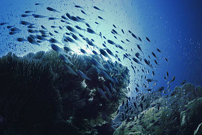 World Schooling Photograph - Glassy Sweepers Schooling On Coral Reef by Jeff Rotman