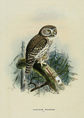 Coulor Painting - Glaucidium Passerinum by Rob Dreyer