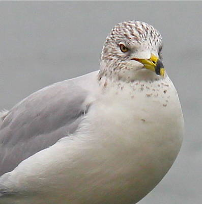Photograph - Glaucous Gull - Close Up by Denise Mazzocco