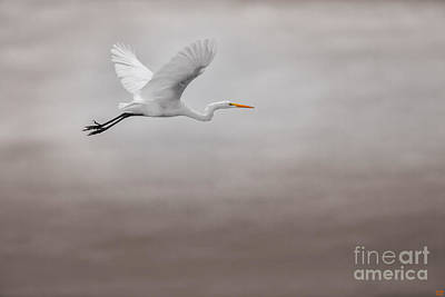 Egret Photograph - Gliding Egert by David Millenheft
