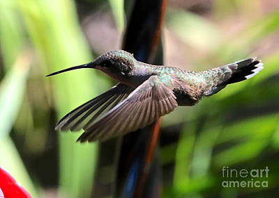 Photograph - Gliding Hummingbird by Carol Groenen