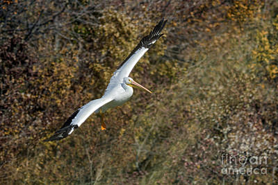 Photograph - Gliding Pelican by David Cutts