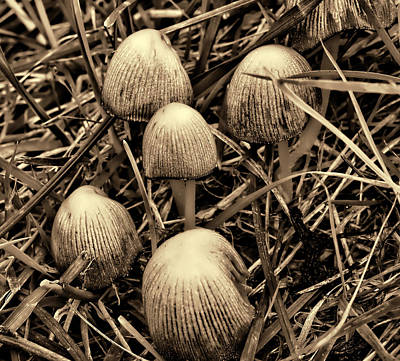 Photograph - Glistening Inky Cap Sepia- by Leif Sohlman