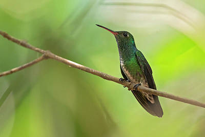 Amazilia Photograph - Glittering-throated Emerald by Juan Jose Arango