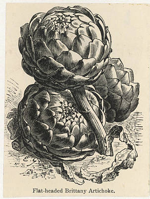 Artichoke Drawing - Globe Artichokes by Mary Evans Picture Library