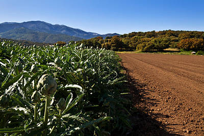 Artichoke Photograph - Globe Artichokes Near Ventas De by Panoramic Images