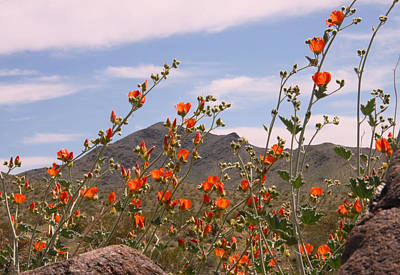 Photograph - Globe Mallow by Sharon I Williams