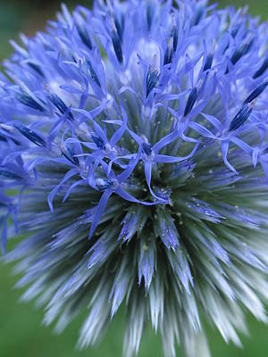 Globe Thistle Art Print by Juergen Roth