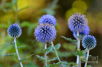 Photograph - Globe Thistle by Rodney Campbell