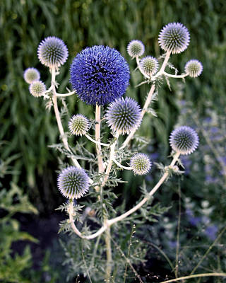Photograph - Globe Thistle by Rona Black