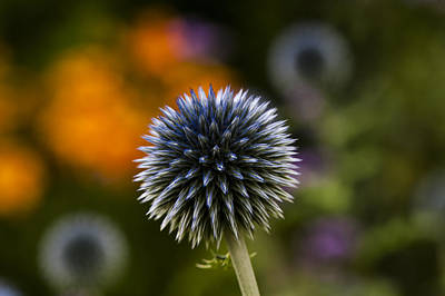 Photograph - Globe Thistles II by Dan Hefle