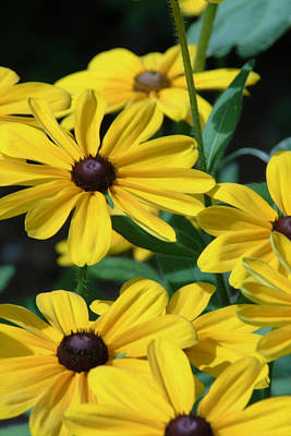 Photograph - Gloriosa Daisies A Grand Shade Of Yellow by Michael Flood