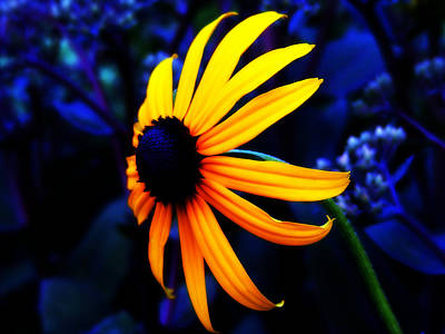 Daisy Photograph - Gloriosa Daisy by Becky Gargan