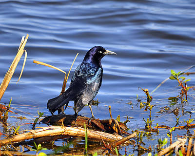Glorious Grackle Art Print by Al Powell Photography USA