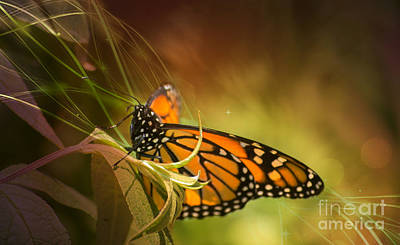 Photograph - Glorious Monarch 2 by Rima Biswas