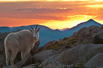 Glorious Mountain Goat Sunset Art Print by Mike Berenson