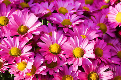 Photograph - Glorious Pink Mums by Audreen Gieger