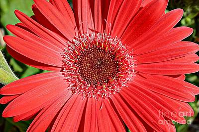 Gerbera Daisy Photograph - Glorious Red by Clare Bevan