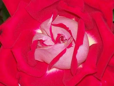 Glorious Red Rose Art Print by Belinda Lee
