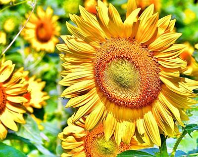 Bemis Photograph - Glorious Sunflowers by Kim Bemis